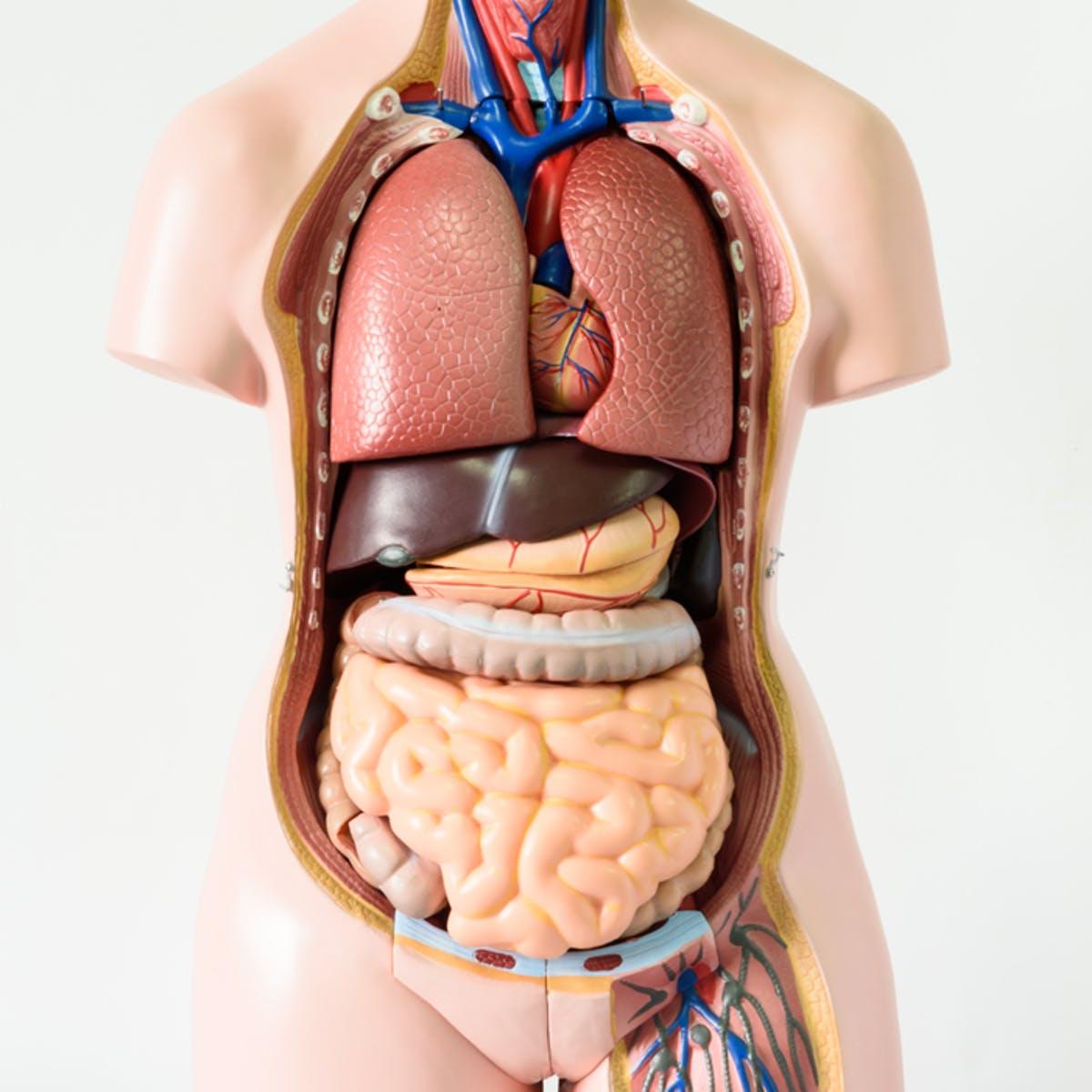 human vital organs